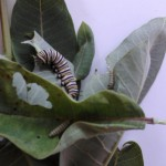 Pre-emergence before the chrysalis