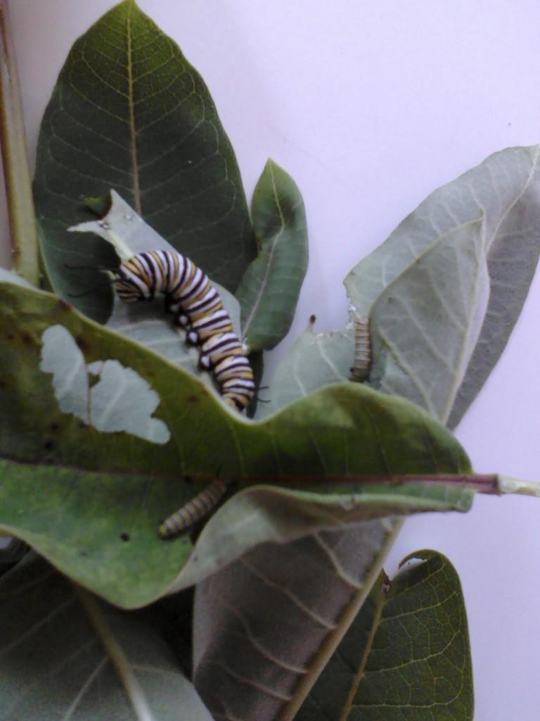 Pre-emergence before the chrysalis