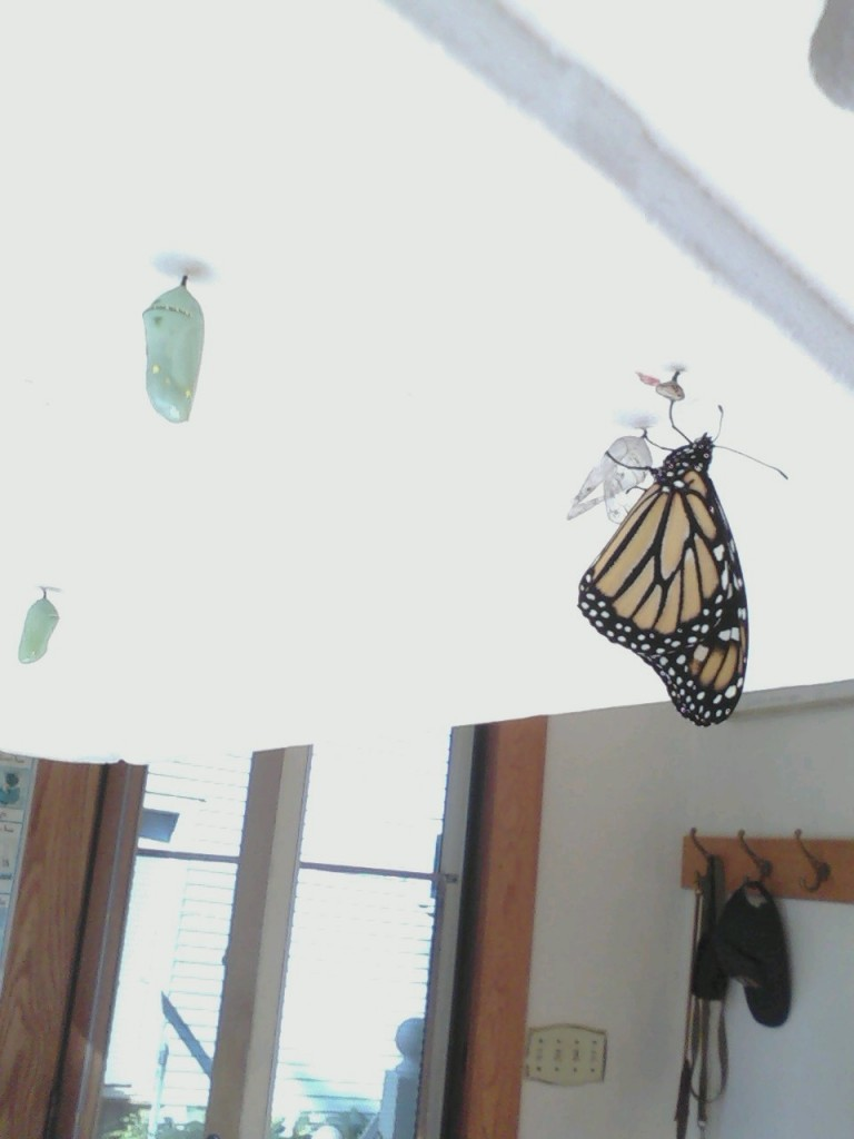 Monarch emerging and 2 remaining chrysalises